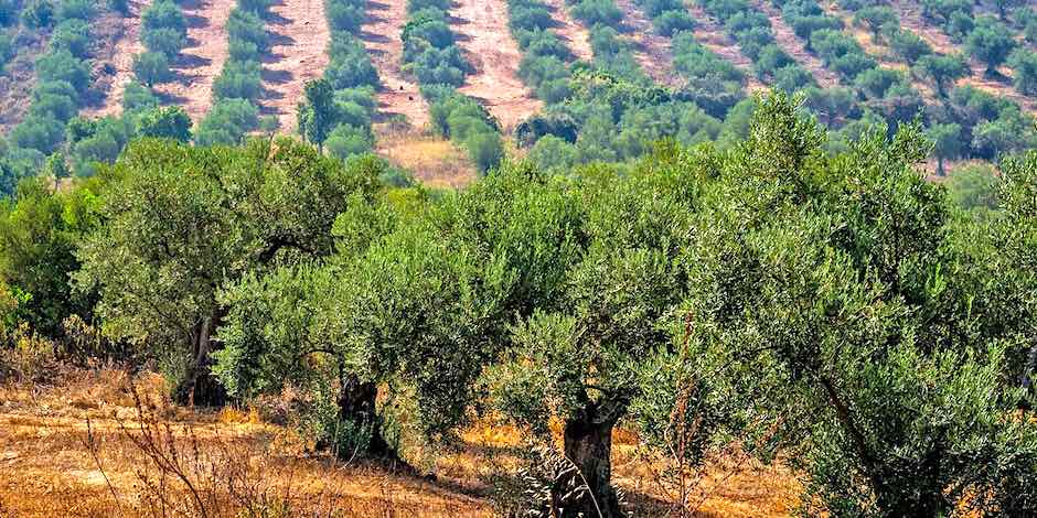 Olive Oil, Olive Tree, Portugal, Alentejo
